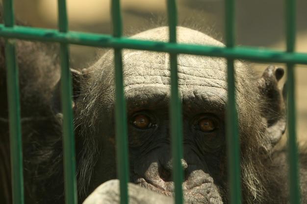 Крупным планом вид шимпанзе в вольере в зоопарке