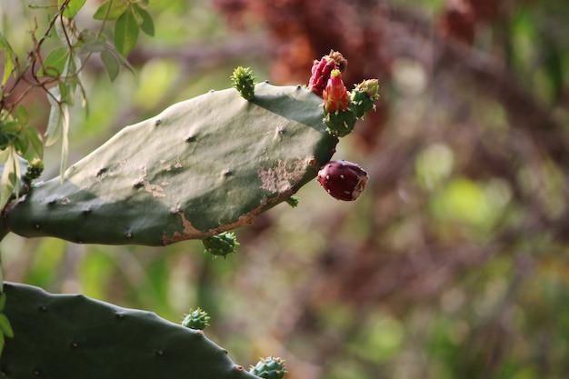 Крупным планом вид кактуса опунция плоды кактус