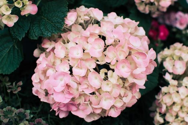 수국 macrophylla 또는 hortensia의 아름다운 분홍색 꽃의 근접 촬영보기.