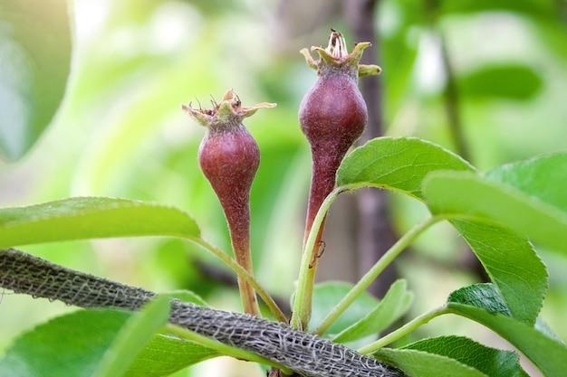 ぼやけた背景の庭の果物の重さから落ちるのを避けるために紐で結ばれた枝を持つ木の緑の葉の間の小さな未熟な梨の果実のクローズアップビュー