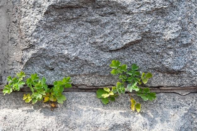 それらの間にセメントグラウトがある粗い花崗岩レンガの壁のクローズアップビュー。緑の植物はセメントを通り抜けます
