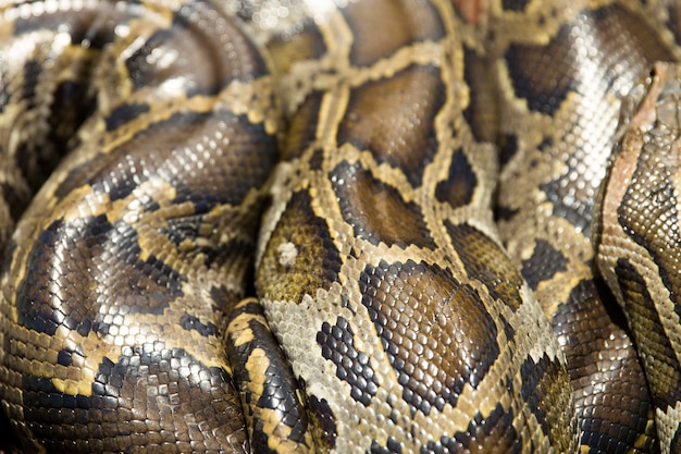 Closeup view at python snake
