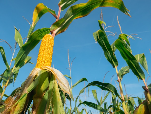 Closeup view on ready yellow corn on a field.