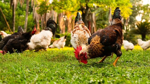 Closeup view of roosters and hens eating in a grass-covered field on a farm on a sunny day