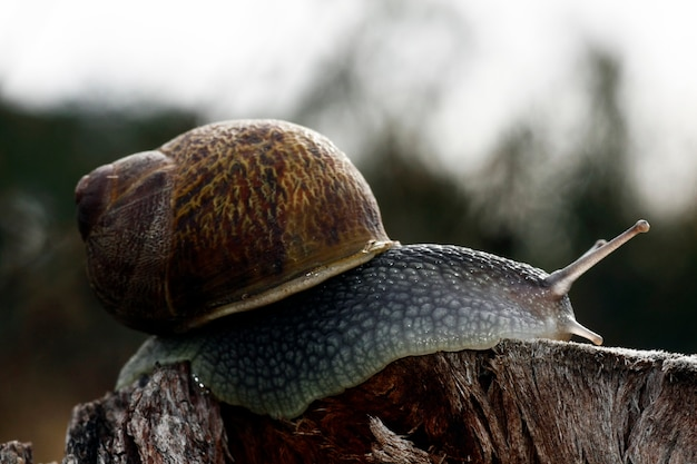 Closeup view of a snail on top of a wood log.