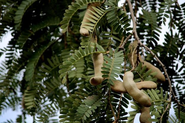 Closeup view of tamarind (tamarindus indica).
