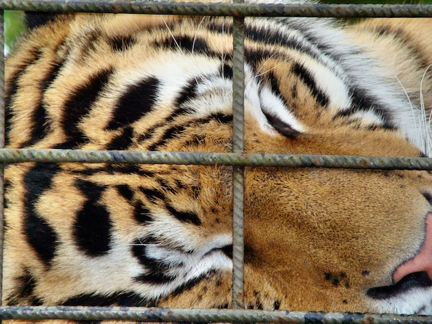 Closeup view of a tiger sleeping in a cage