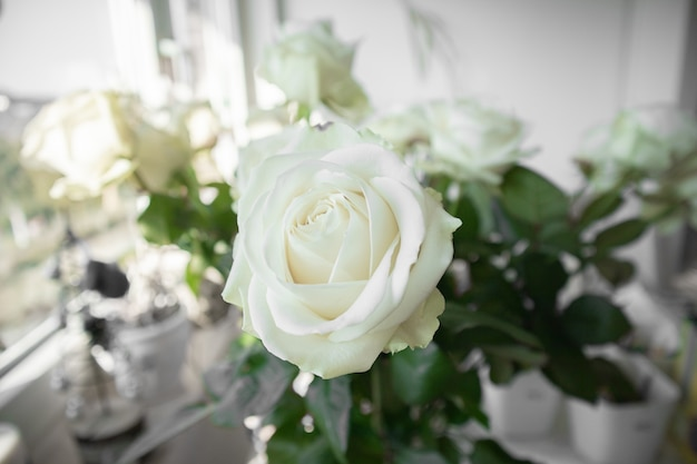 Closeup view of white roses with blurred background