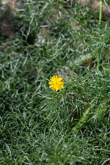 Closeup view of a yellow dandelion flower on green natural background taraxacum officinale