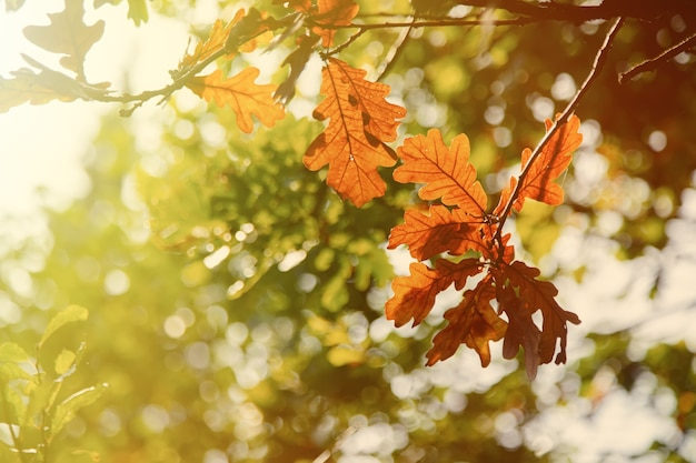 Closeup view on yellow oak leaves in a forest