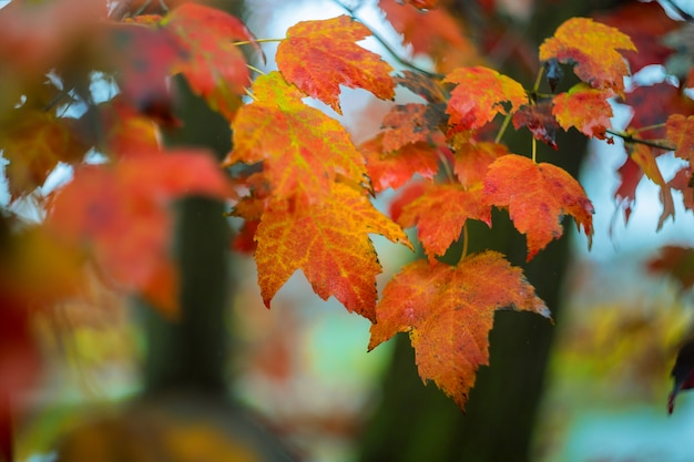 Closeup view of yellow tree leaves on twigs in autumn floral autumn scene.