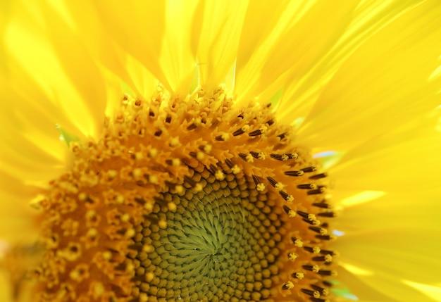 Closeup of vivid color sunflower pollen texture