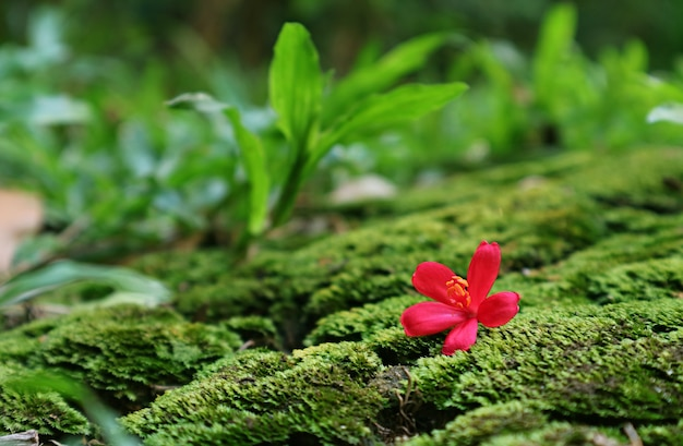 Крупным планом яркий розовый крошечный цветок ятрофы, падающий на яркий зеленый мох