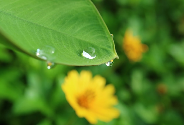 Closeup water droplets on green leaf with the reflection of yellow cosmos flower