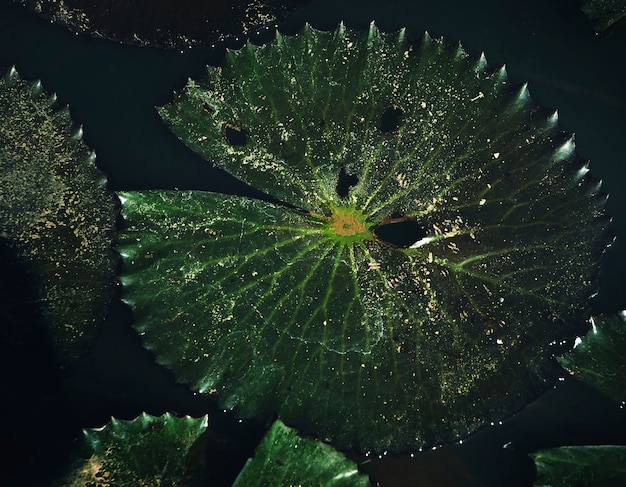 Closeup of water lily leaf