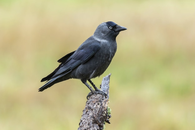Closeup of a western jackdaw standing on wood under the sunlight on a blurry background