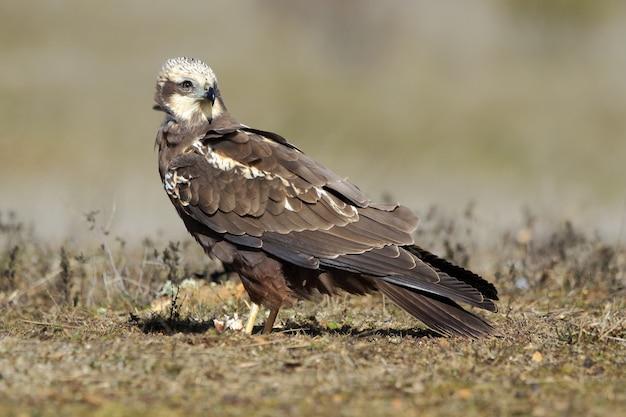 Primo piano di un falco di palude occidentale sul terreno coperto di erba sotto la luce del sole durante il giorno