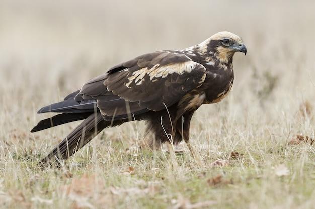 Primo piano di un falco di palude occidentale sul terreno coperto di erba sotto la luce del sole di giorno