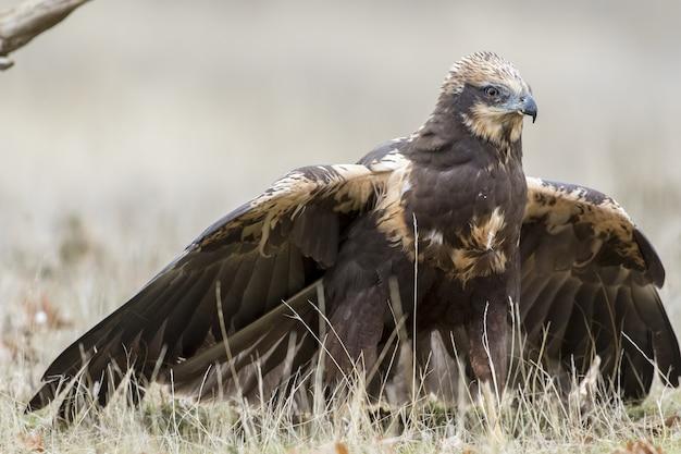 Primo piano di un falco di palude occidentale a terra pronto a volare sotto la luce del sole di giorno