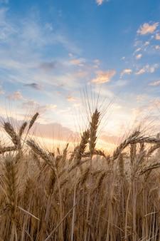 Closeup of wheat ears on sunset sky