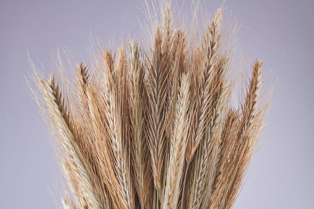 Колоски зерна пшеницы крупным планом на сером фоне