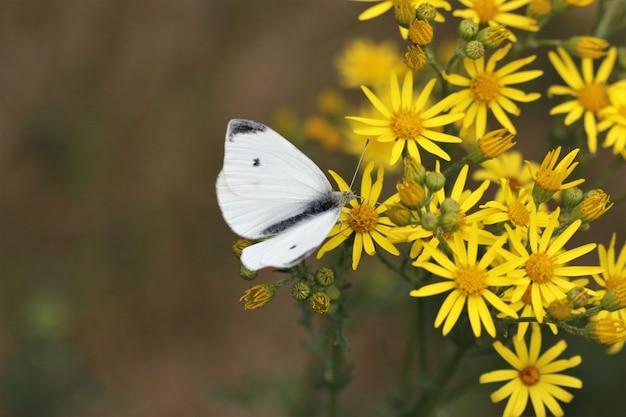 Primo piano di una farfalla bianca che si siede sui fiori gialli in un giardino