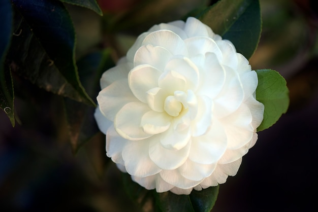 Closeup of white camellia in contrast to the very dark garden background. brazil