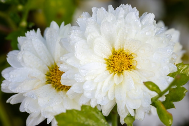 Closeup white chrysanthemum flowers with yellow pollen and morning sunlight in organic garden.