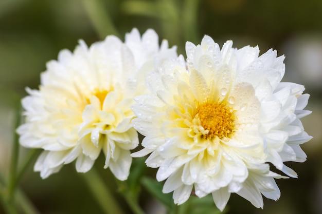 Closeup white chrysanthemum flowers with yellow pollen