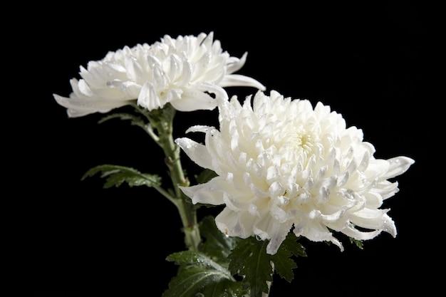 Closeup  of white chrysanthemum