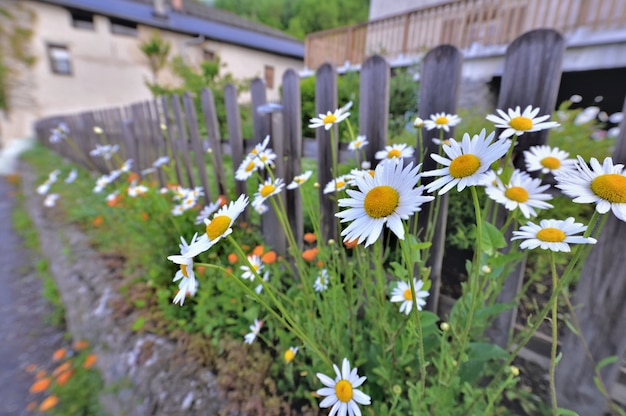 Closeup on white daisies  flowers  blooming in front of a wooden fence in alpine village