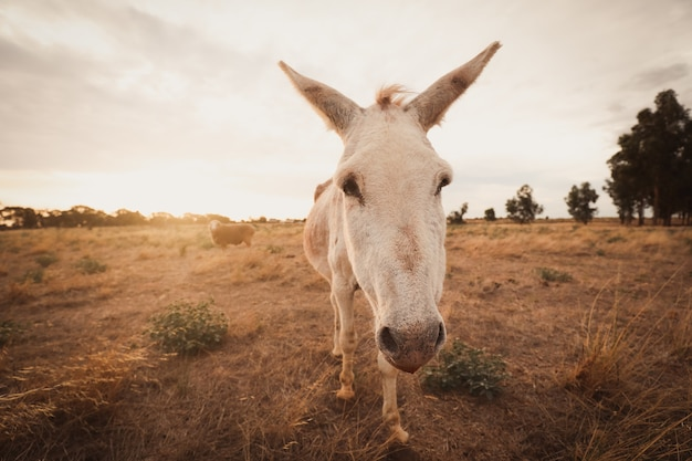 Closeup of a white donkey in a field covered in greenery under a cloudy sky and sunlight