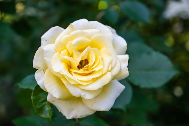 Closeup of a white garden rose surrounded by greenery under the sunlight with a blurry background