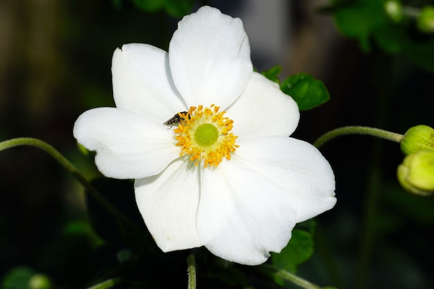 Primo piano di un anemone giapponese bianco