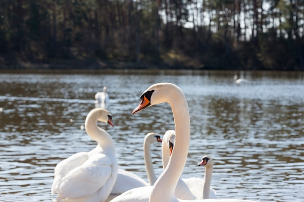 Closeup white swans living on the lake near the city, beautiful large waterfowl in the spring season while searching for a pair