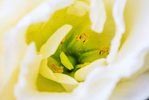 Closeup of white tulip flower pollen