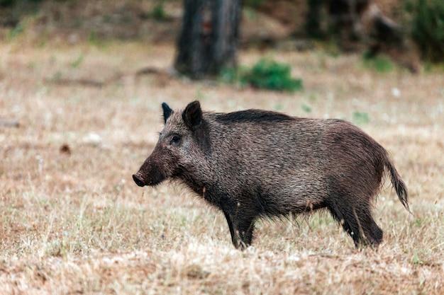 Closeup of a wild boar in the natural park of the sierras de cazorla, segura and the villas, spain