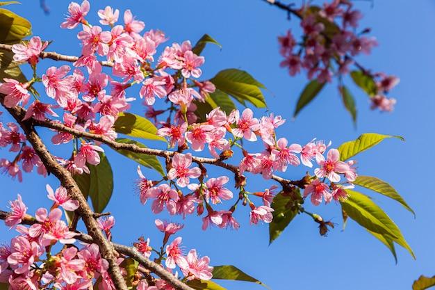 Closeup of wild himalayan cherry (prunus cerasoides) or thai sakura flower at khun chang kian, chiang mai, thailand.