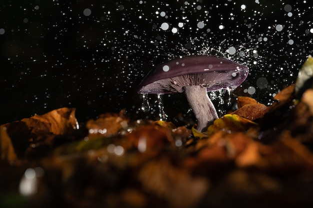 Closeup of a wild mushroom under a pouring rain surrounded by autumn leaves