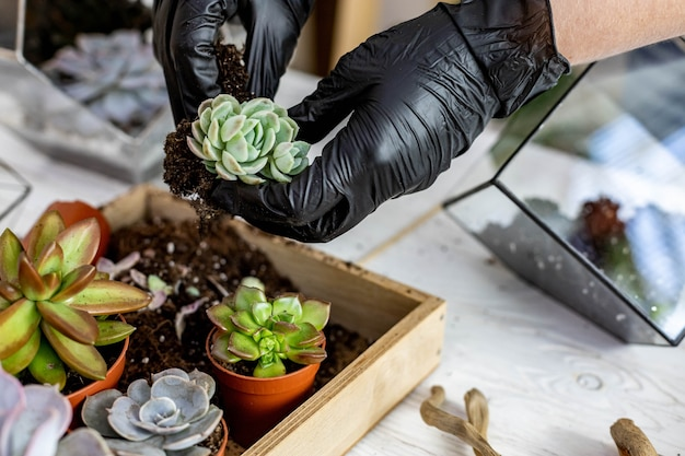 クローズアップの女性の庭師は多肉植物をガラスの花瓶に移植して植物相の植物の装飾を作成します