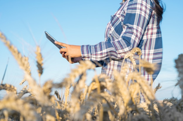 Closeup of woman hand touching tablet pc in wheat stalks agronomist researching wheat ears farmer us... Premium Photo