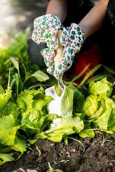 Closeup woman spud lettuce garden bed with metal spade
