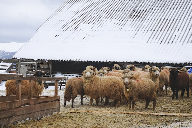 Closeup of woolly sheep near a shed during winter