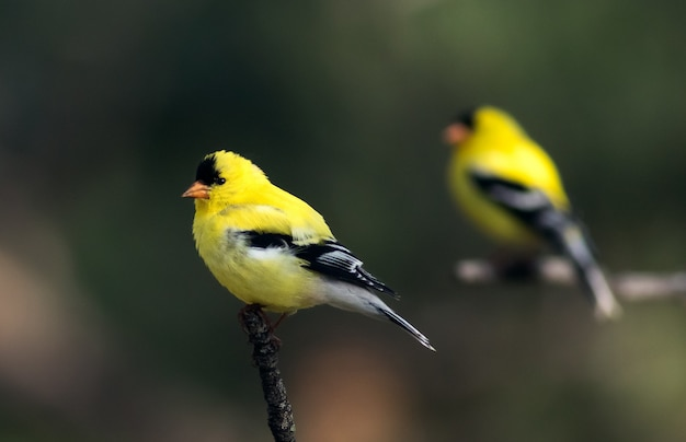 Closeup of a yellow american goldfinch perched on a tree branch