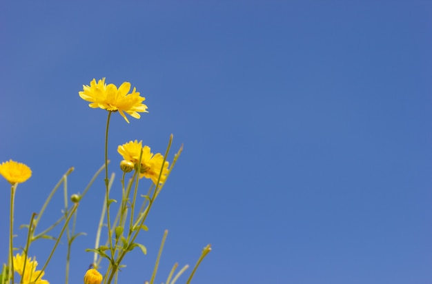 Closeup yellow chrysanthemum in the blue sky background and sunlight.
