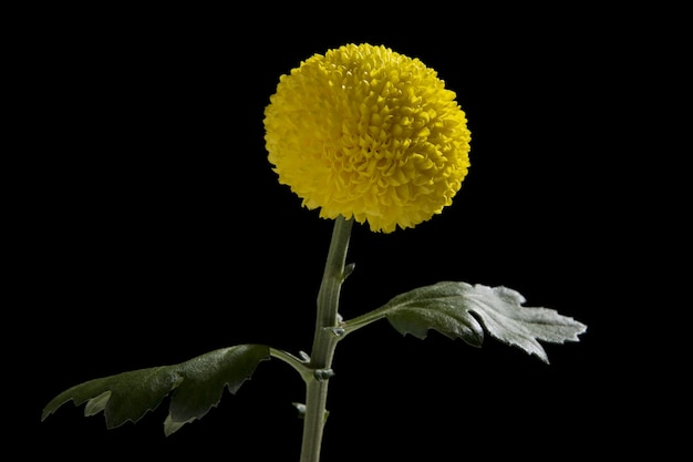 Closeup  of a yellow chrysanthemum isolated on a black wall