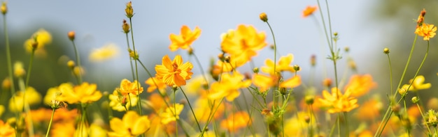 Closeup of yellow cosmos flower on blurred green leaf background under sunlight with copy space using as background natural flora landscape, ecology cover page concept.