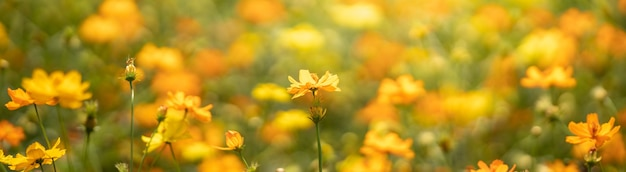 Closeup of yellow cosmos flower on blurred green surface under sunlight with copy space