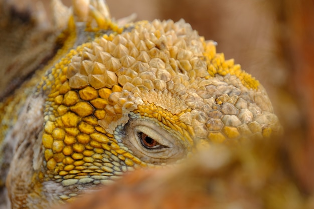Closeup of a yellow iguanas head