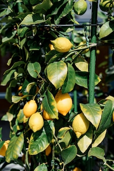 Closeup of the yellow lemon fruit on the tree on the branches in the foliage